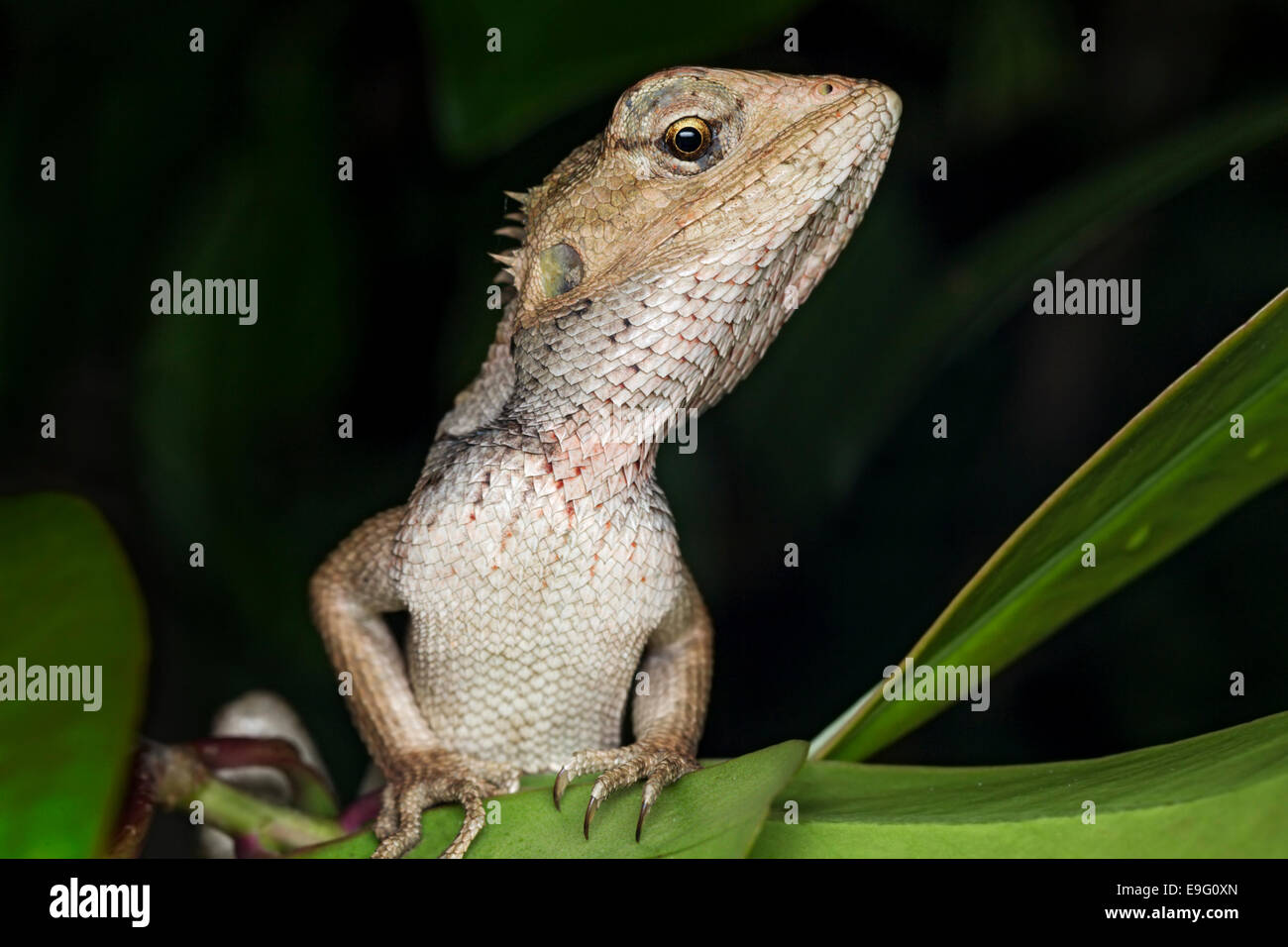 Veränderbare Eidechse (Calotes versicolor) Stockbild