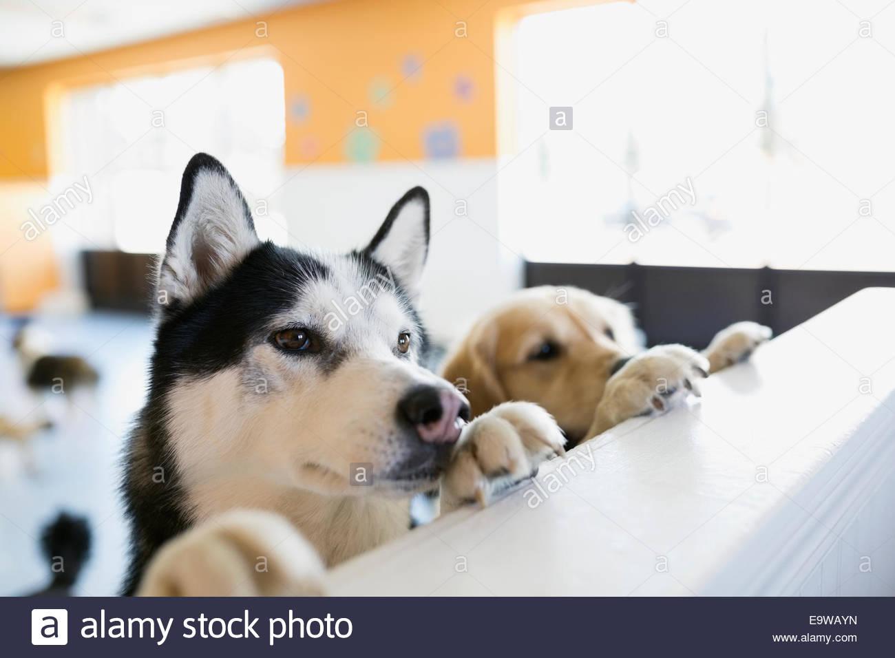 Neugierige Hunde auf Hund Kindertagesstätten Theke gelehnt Stockbild