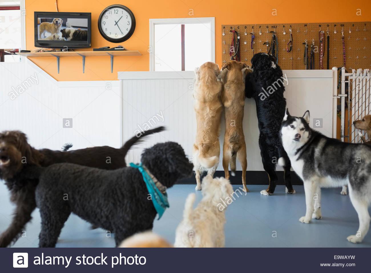 Hunde spielen in Hund Kindertagesstätten Stockbild