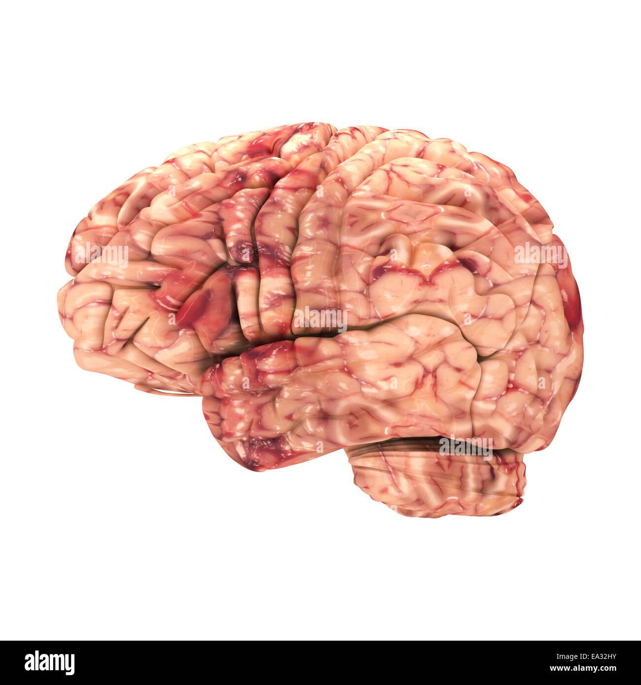 Anatomie Gehirn - Seitenansicht, Isolated on White Stockfoto, Bild ...