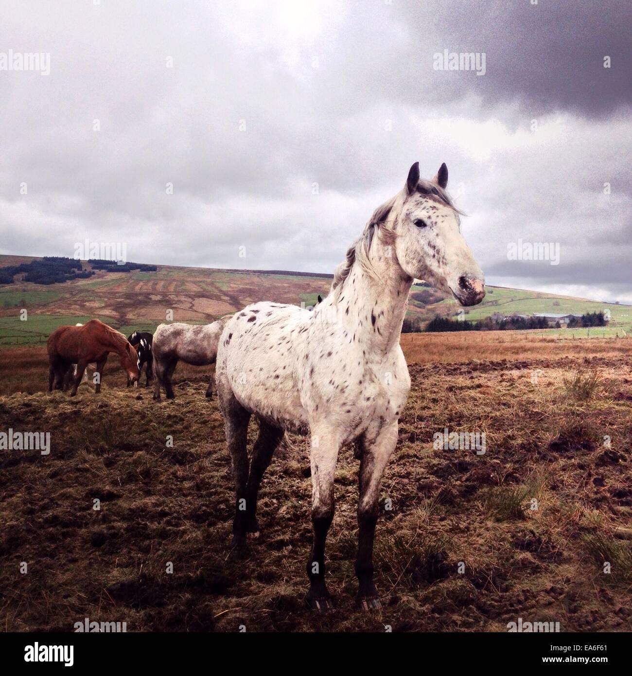 Vereinigtes Königreich, Peak District, Pferde grasen auf Feld Stockbild