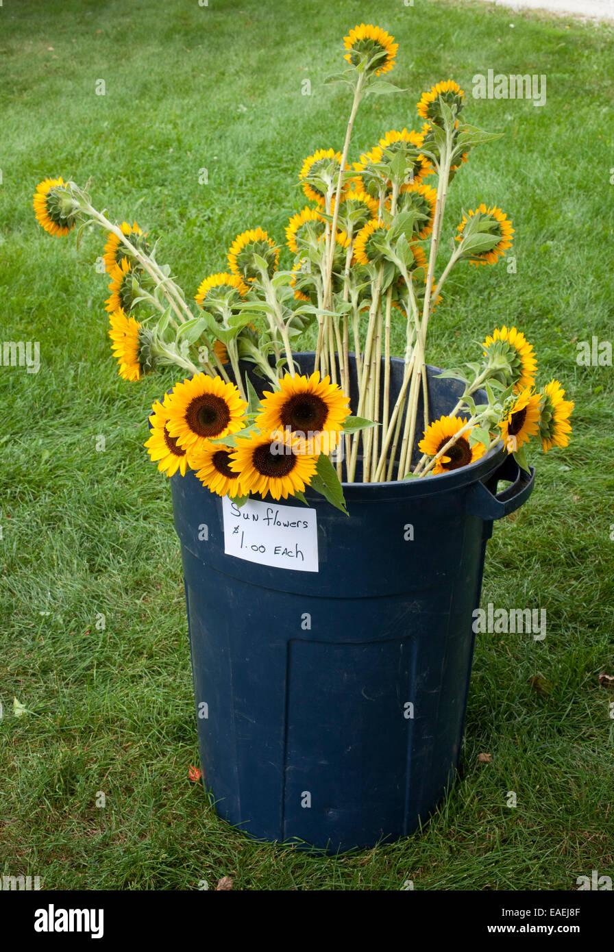 Sonnenblumen für Verkauf in großen Mülleimer Stockbild
