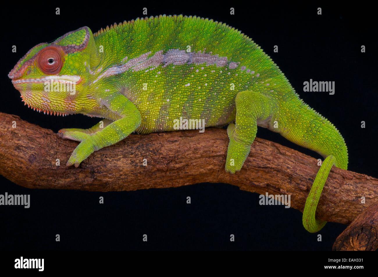 Pantherchamäleon / Furcifer Pardalis Stockbild