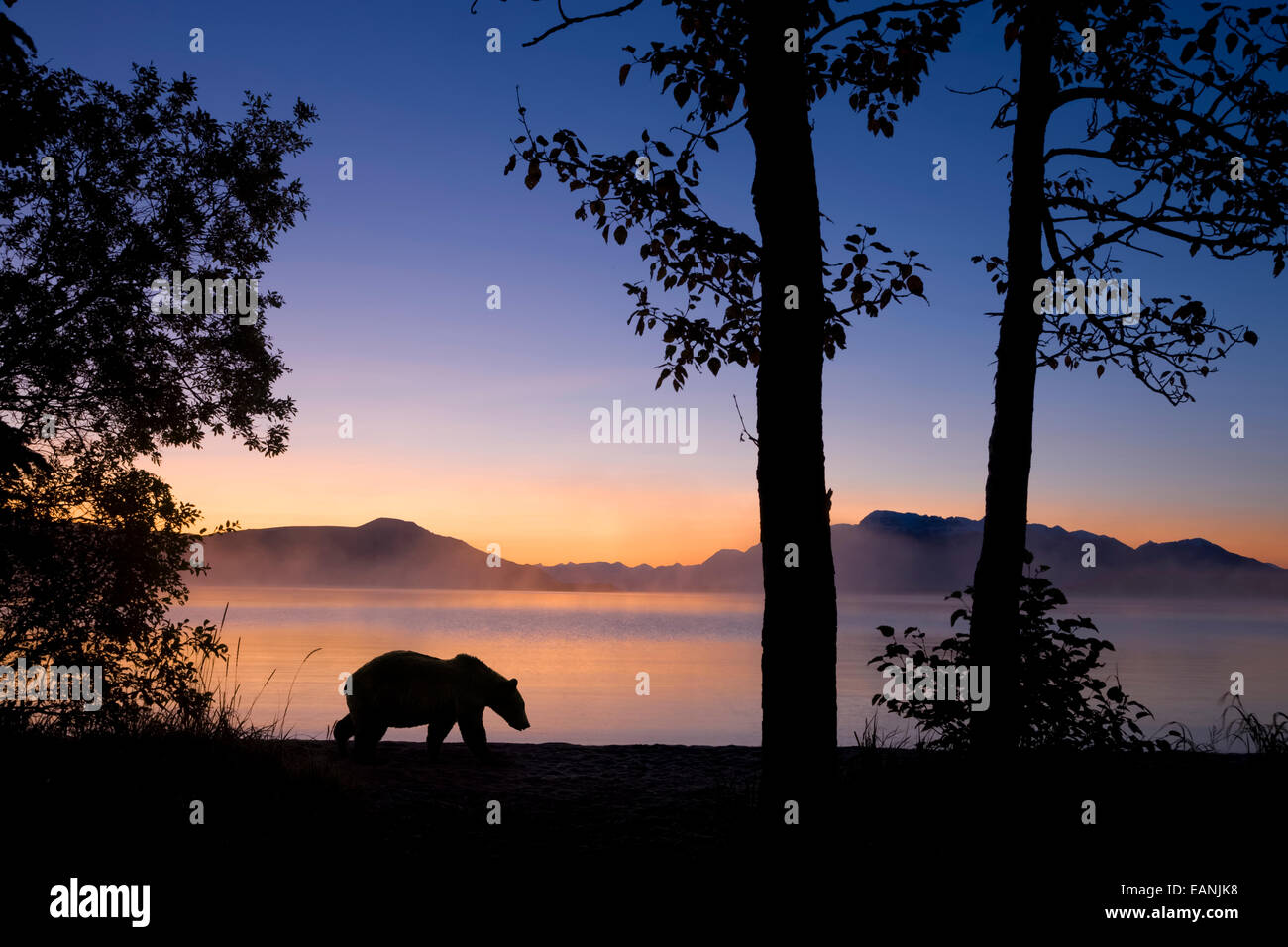 Sunrise, Alaska, Grizzly Bear, Katmai Np Stockbild