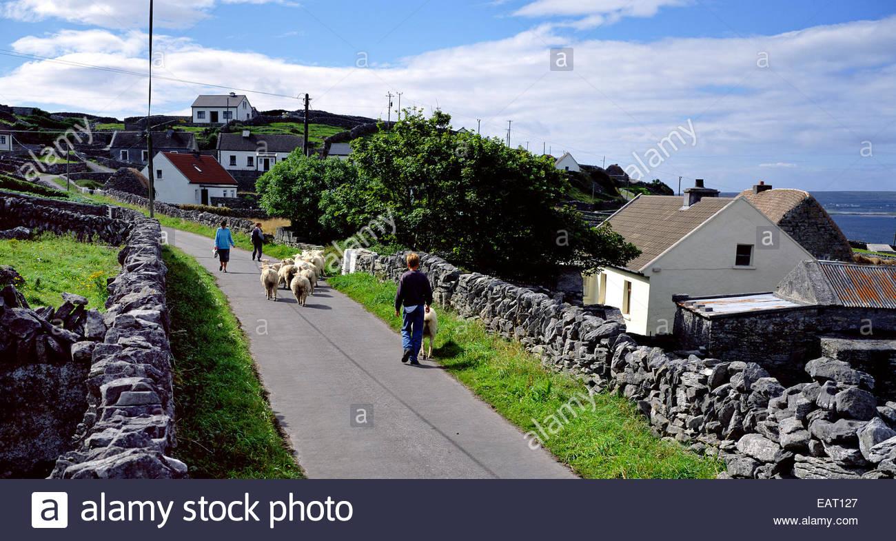 Schafe auf der irischen Landstraße. Stockbild
