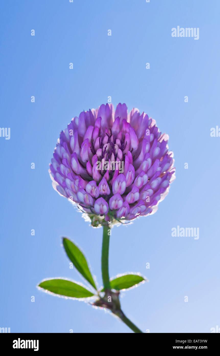 Glühende Blume lila Klee auf blauen Himmelshintergrund Stockbild