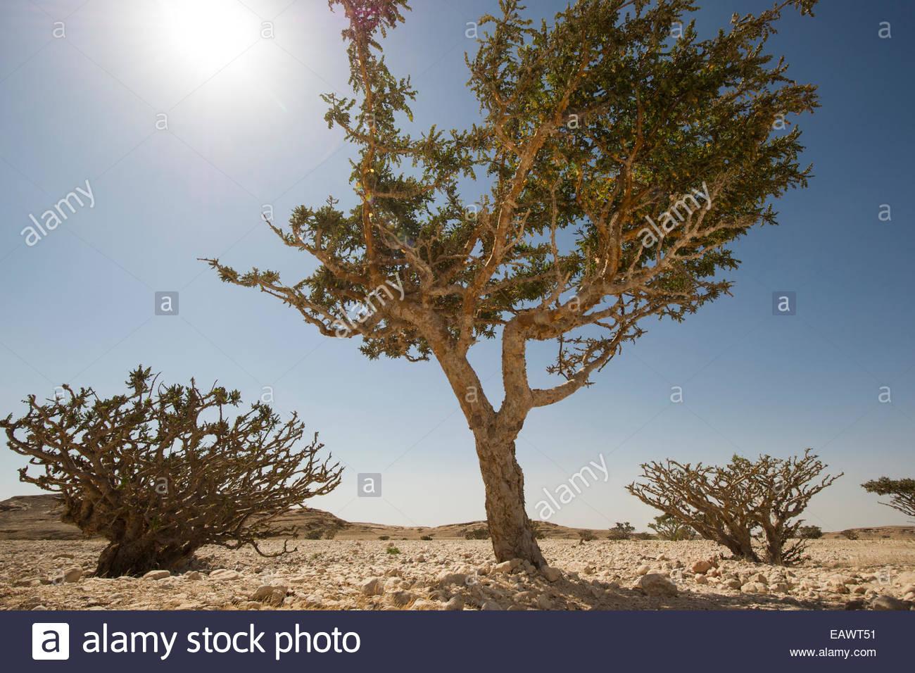 Weihrauch baum im wadi dawkah park in der n he von salalah for Wildparks in der nahe
