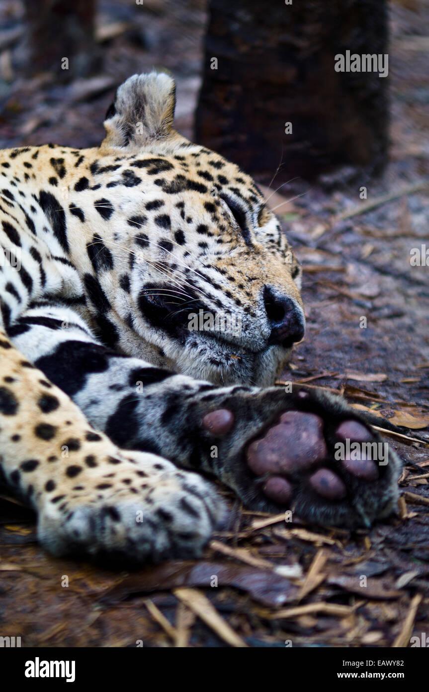 jaguar panthera onca lying on stockfotos jaguar panthera onca lying on bilder seite 2 alamy. Black Bedroom Furniture Sets. Home Design Ideas