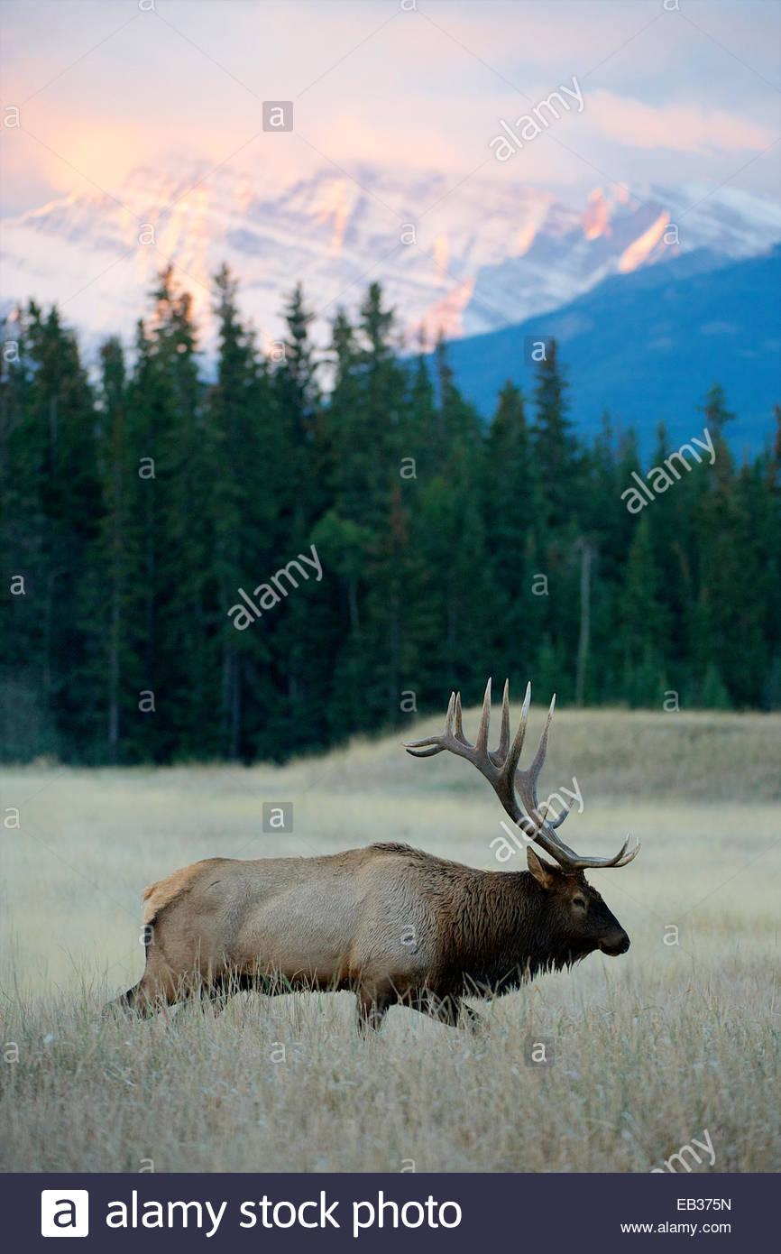 Ein Stier Elch bewegt sich durch ein Feld bei Sonnenaufgang. Stockbild