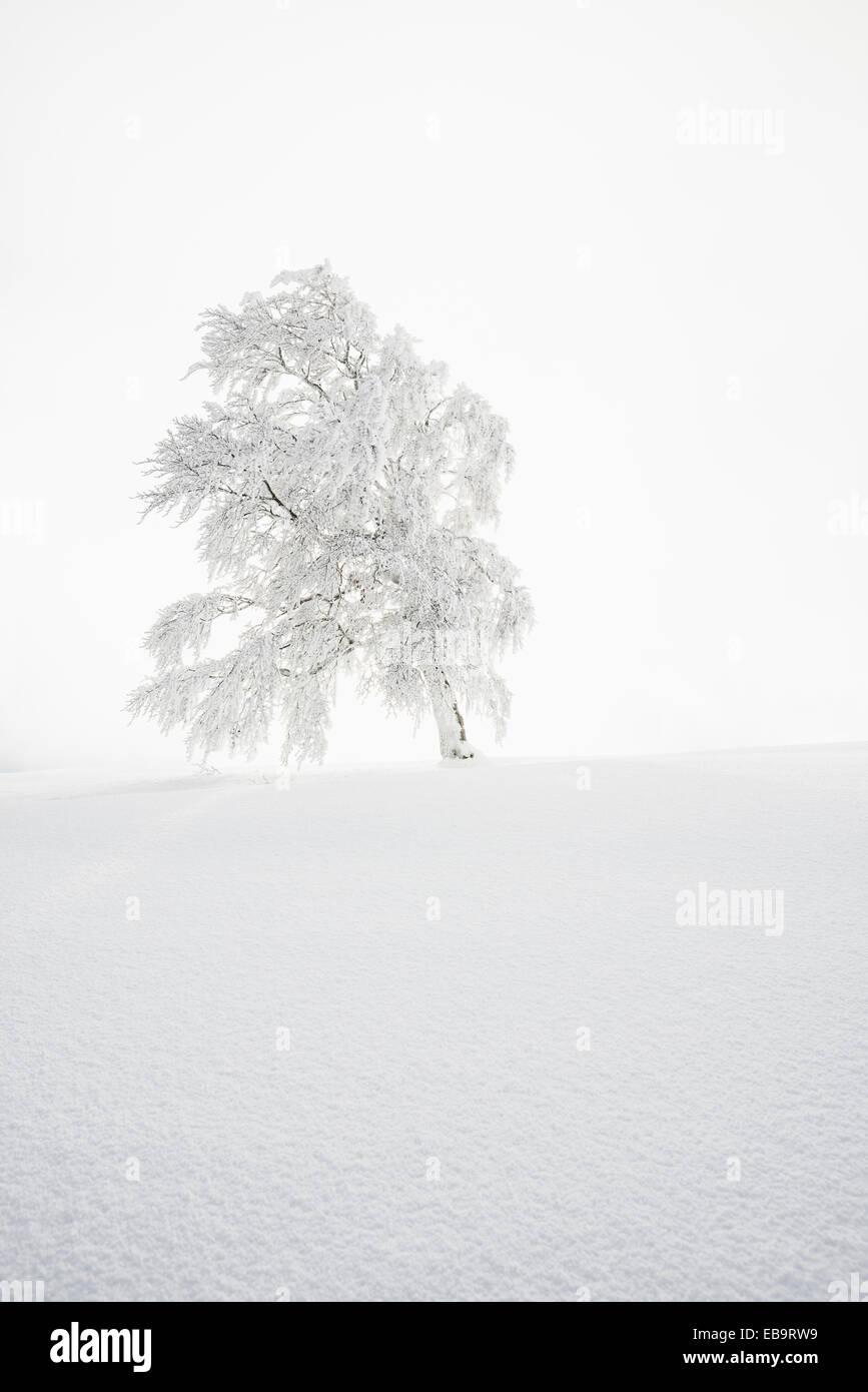 Verschneite Buche, Schauinsland, Freiburg Im Breisgau, Baden-Württemberg, Deutschland Stockbild