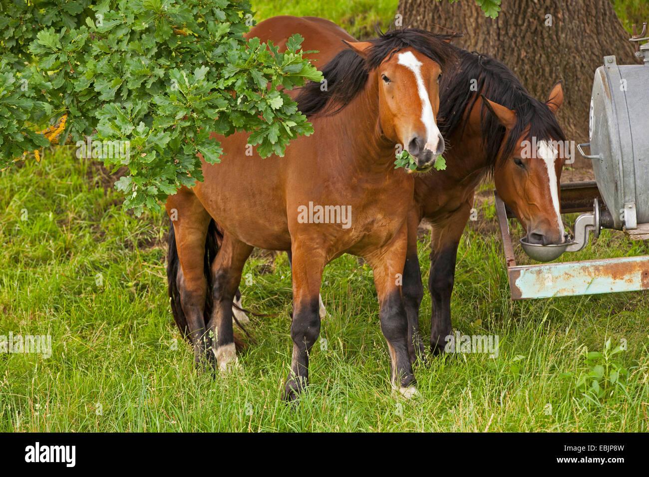 inländische Pferd (Equus Przewalskii F. Caballus) fährt um eine Horsetrough Fütterung auf Eiche, Stockbild