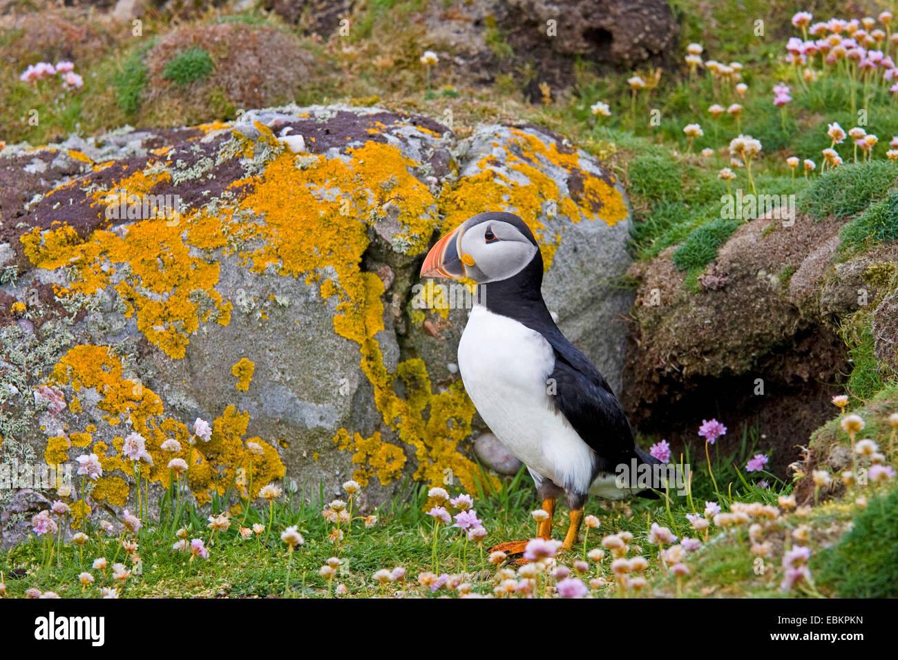 Papageitaucher, gemeinsame Papageientaucher (Fratercula Arctica), steht man vor seiner Zucht Höhle, Shetland Stockbild