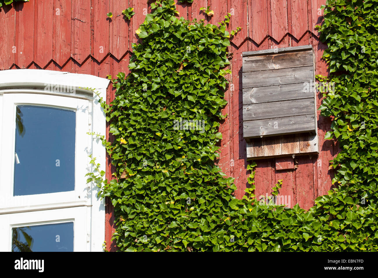 ivy clad houses stockfotos ivy clad houses bilder alamy. Black Bedroom Furniture Sets. Home Design Ideas