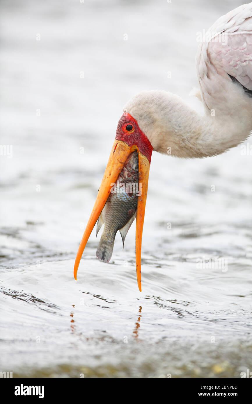 gelb-billed Storch (Mycteria Ibis), stehen im flachen Wasser und Essen ein Fisch, Südafrika, Kruger National Stockbild