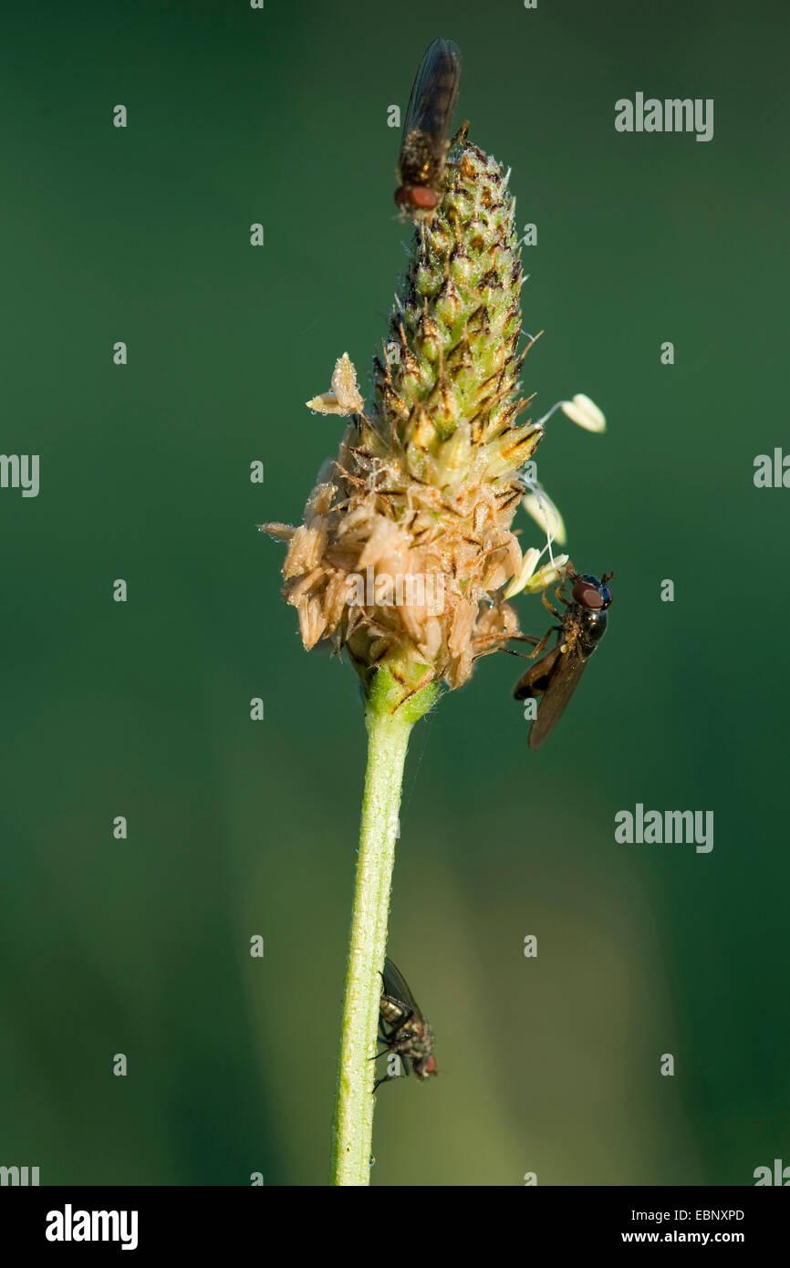 Buckhorn Wegerich, englische Wegerich, Spitzwegerich Spitzwegerich, Rippe Rasen, Welligkeit Grass (Plantago Lanceolata), Stockbild