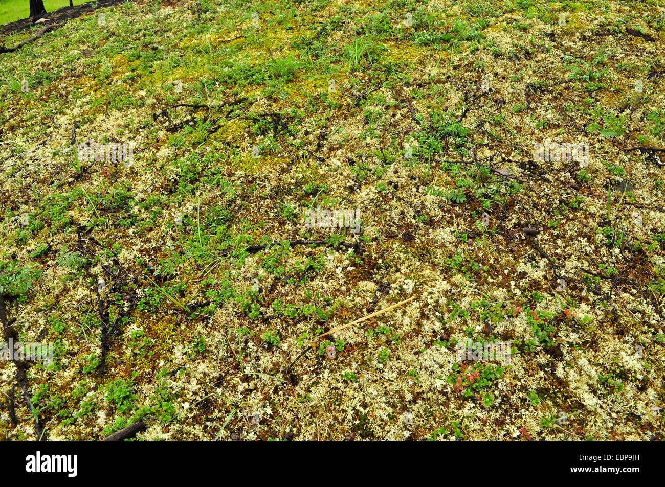 background arctic tundra vegetation lichen stockfotos background arctic tundra vegetation. Black Bedroom Furniture Sets. Home Design Ideas