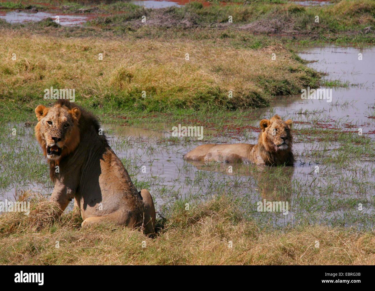 Löwe (Panthera Leo), Löwen, die Abkühlung im Wasser, Kenia, Amboseli National Park Stockbild