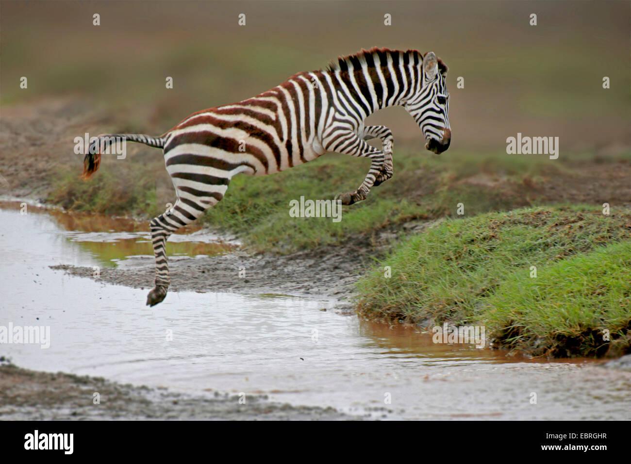 Gemeinsamen Zebra (Equus Quagga), springen über einen Bach, Tansania, Serengeti National Park Stockbild