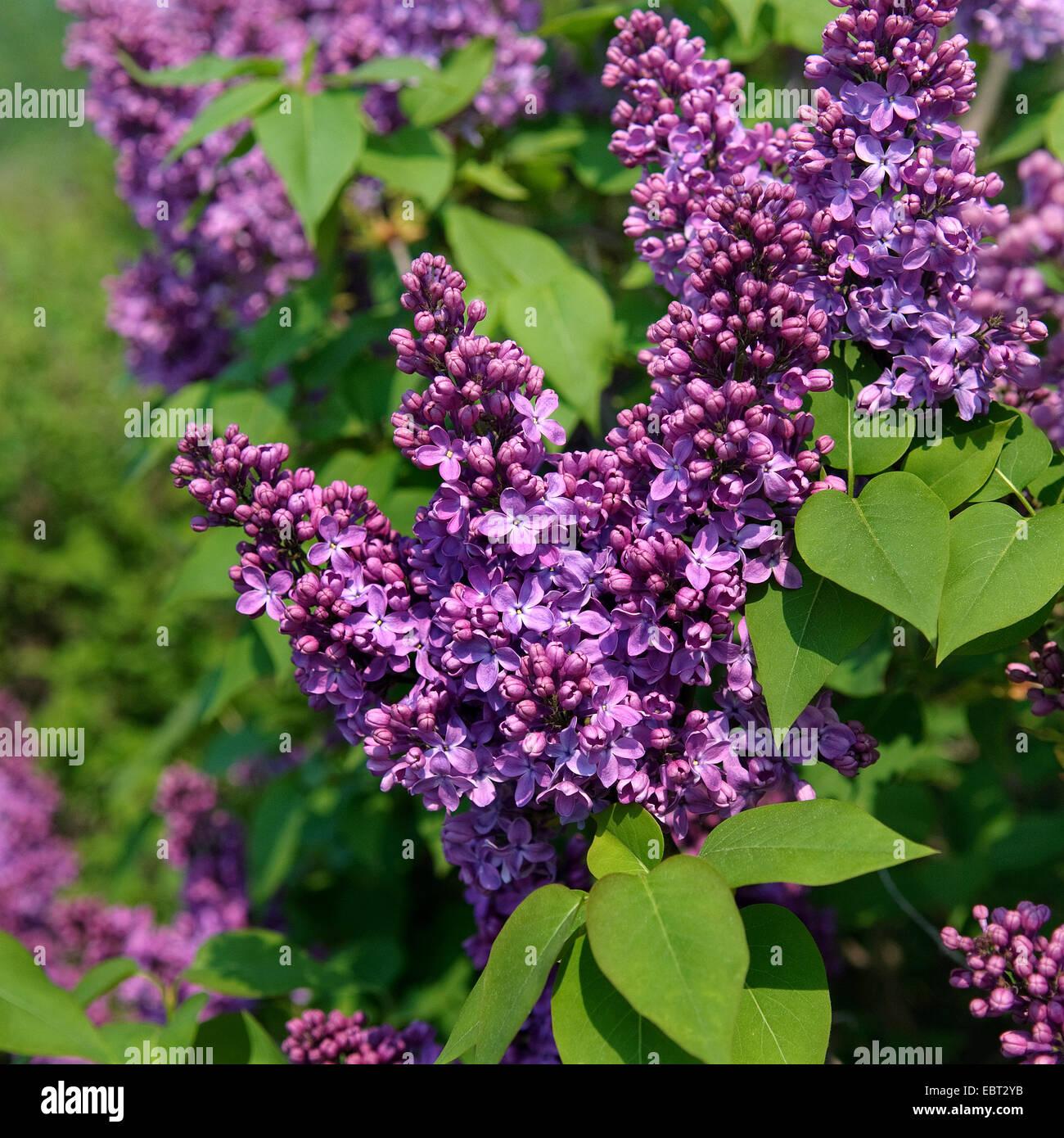 Ruhm stockfotos ruhm bilder alamy for Syringa vulgaris