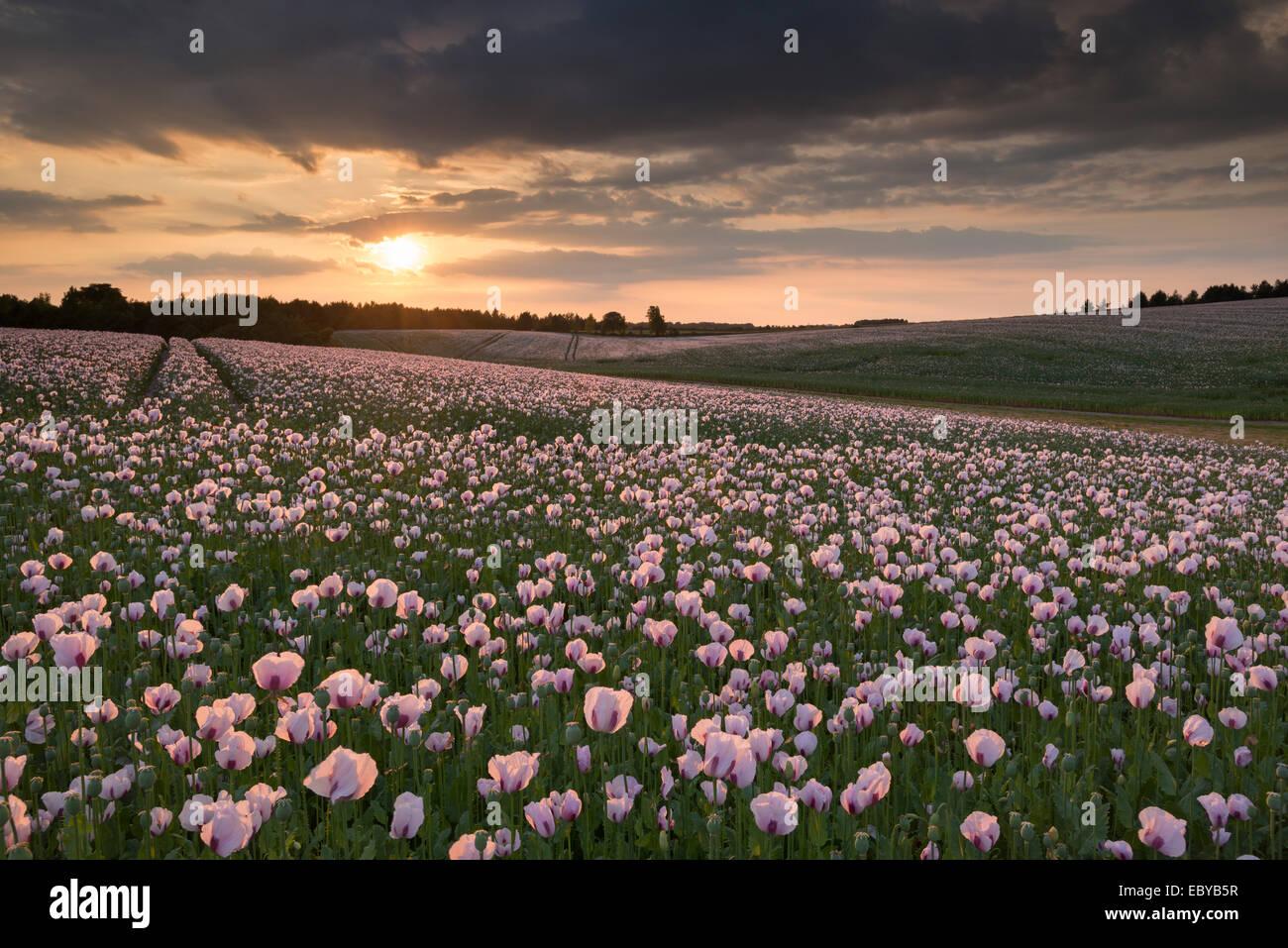 Opium bei Sonnenuntergang, Oxfordshire, England. Sommer (Juni) 2014. Stockbild