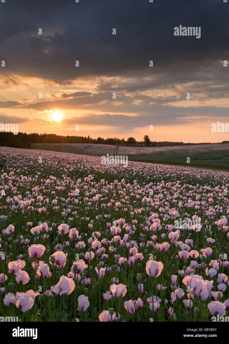 Opium Poppyfield bei Sonnenuntergang, Chilton, Oxfordshire, England. (Juni) im Sommer 2014. Stockbild
