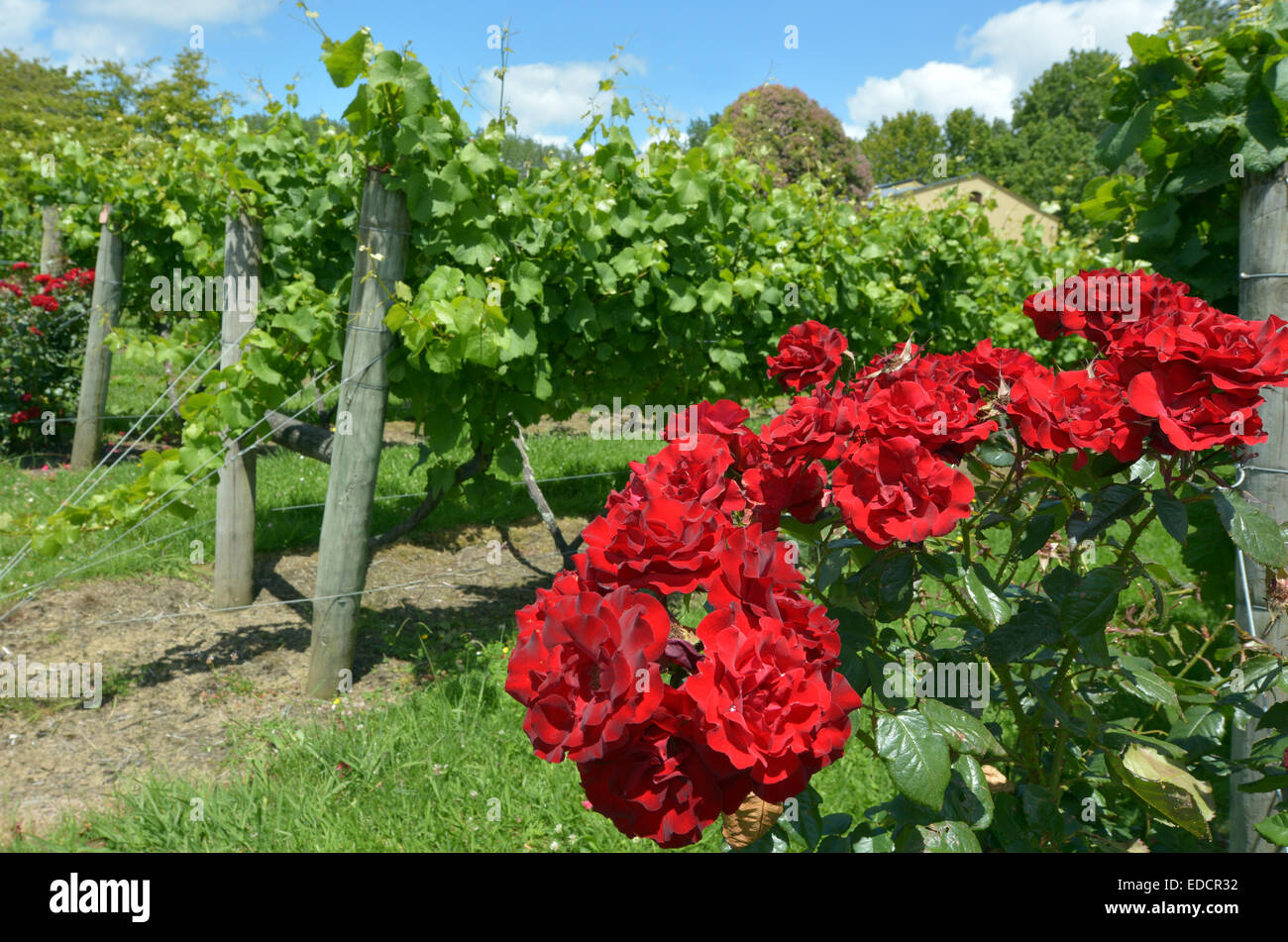 roses and vineyard stockfotos roses and vineyard bilder. Black Bedroom Furniture Sets. Home Design Ideas