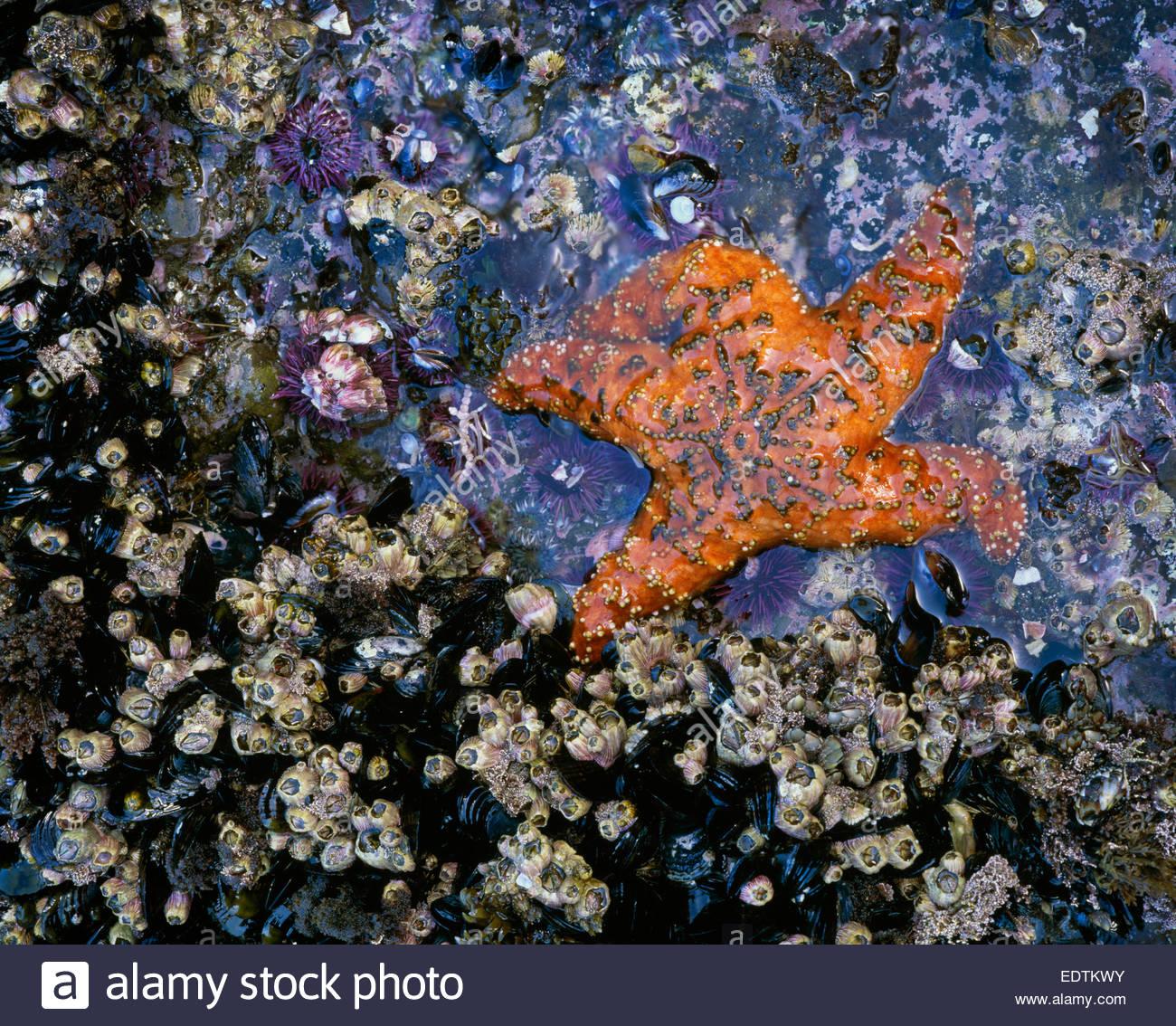 "Gezeitenzone mit Ocker Seastar ""Santa Barbara Island' [Channel Islands Nationalpark] California Stockbild"