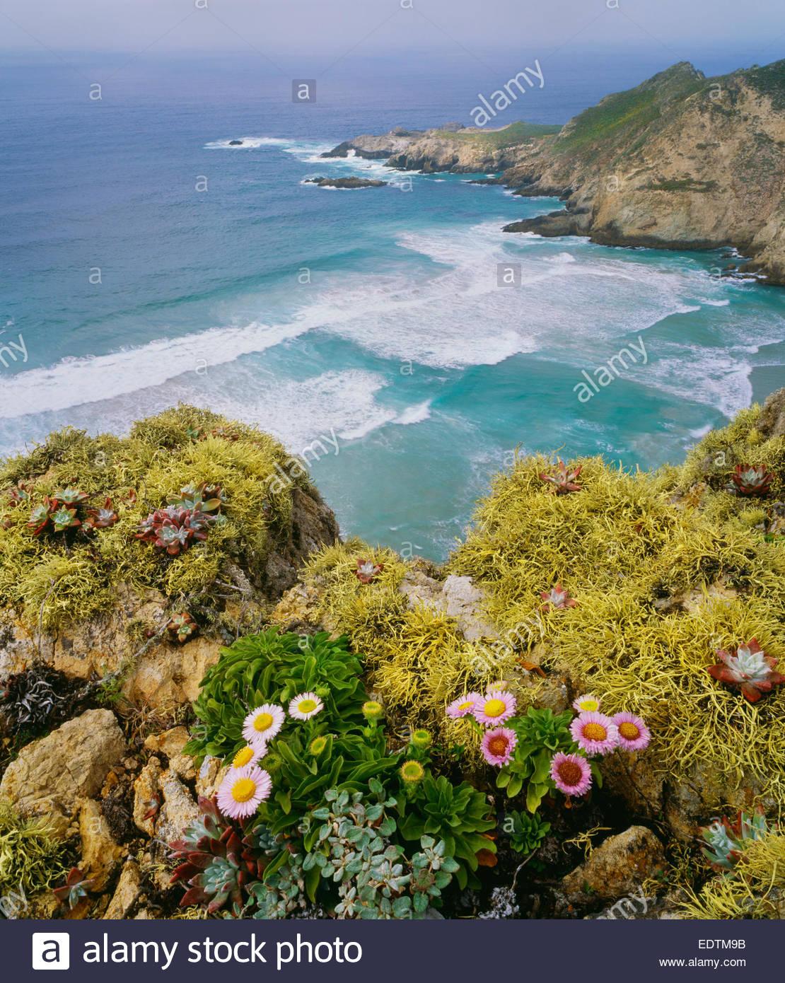 Harris-Punkt mit Meer Margeriten und Flechten.  San Miguel Island.  Channel Islands Nationalpark, Kalifornien. Stockbild