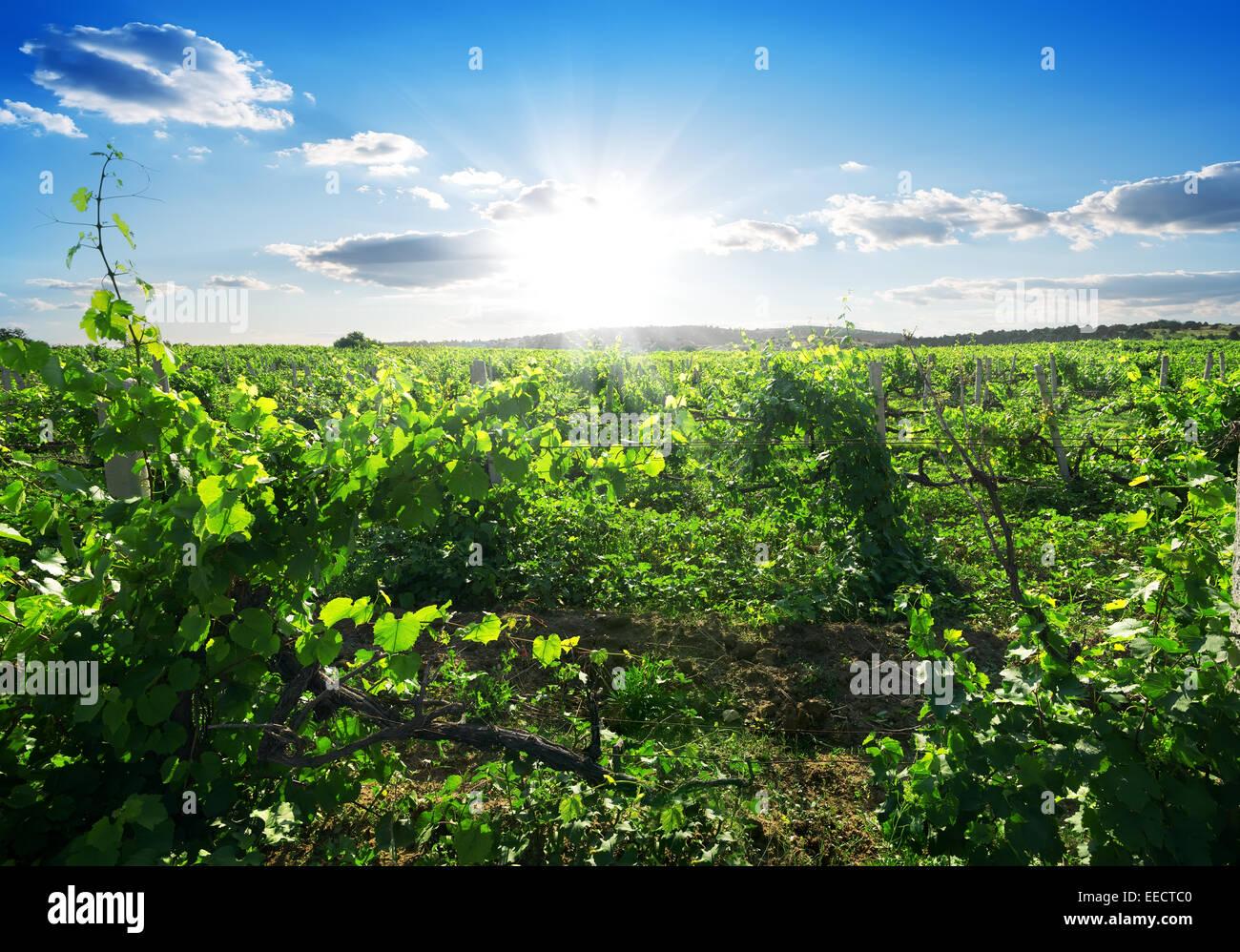 Schöner sonniger Tag im Sommer Weinberg Stockbild