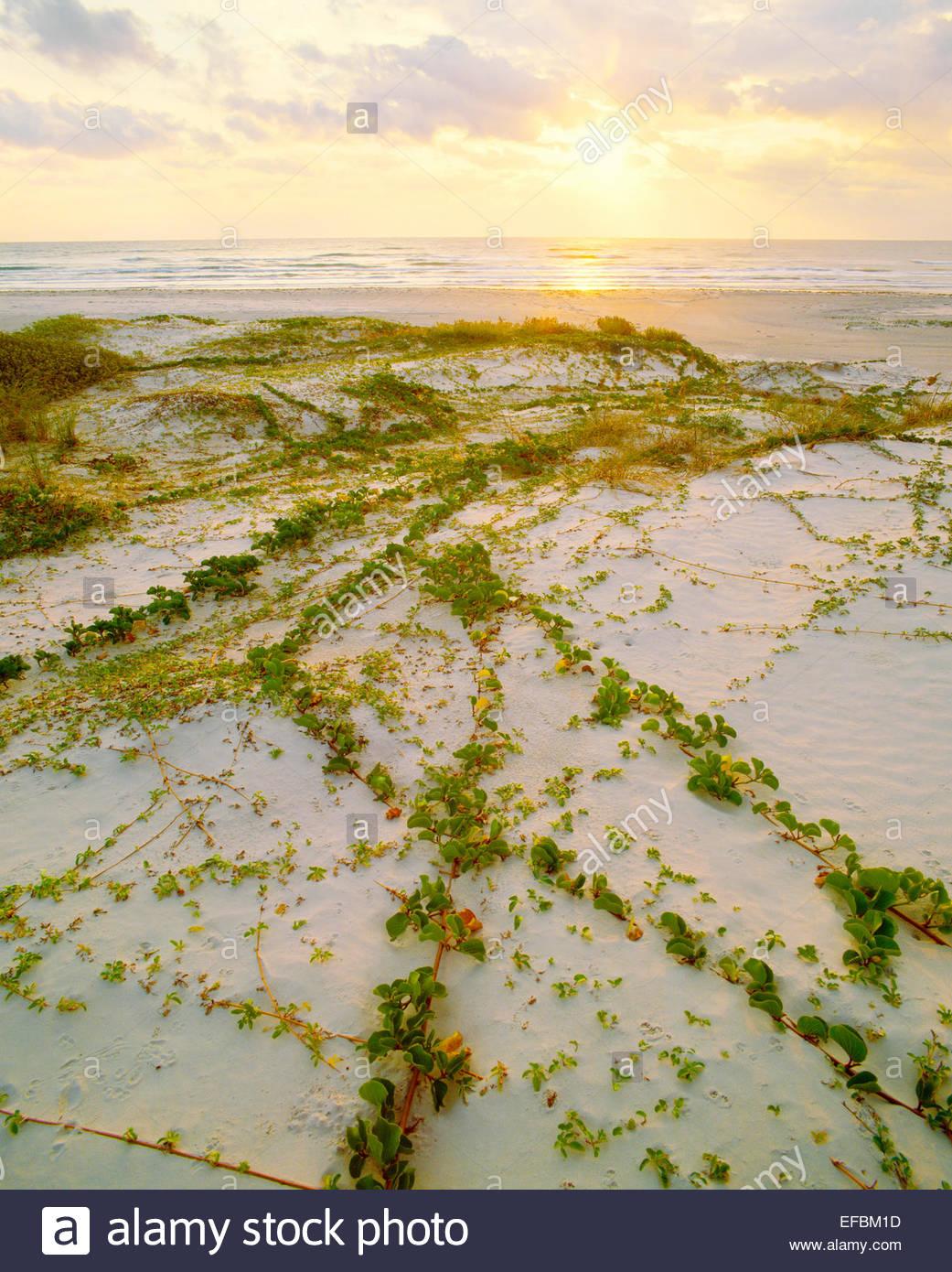 """Eisenbahn Weinstock [lpomoea PES-caprae var. emarginata], und """"Golf von Mexiko Strand bei Sonnenaufgang. Padre Stockbild"""