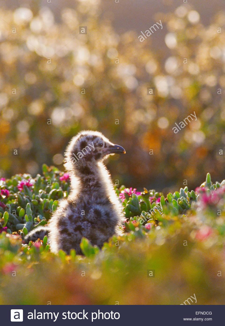 Western Möwe Küken [Channel Islands Nationalpark] California Stockbild