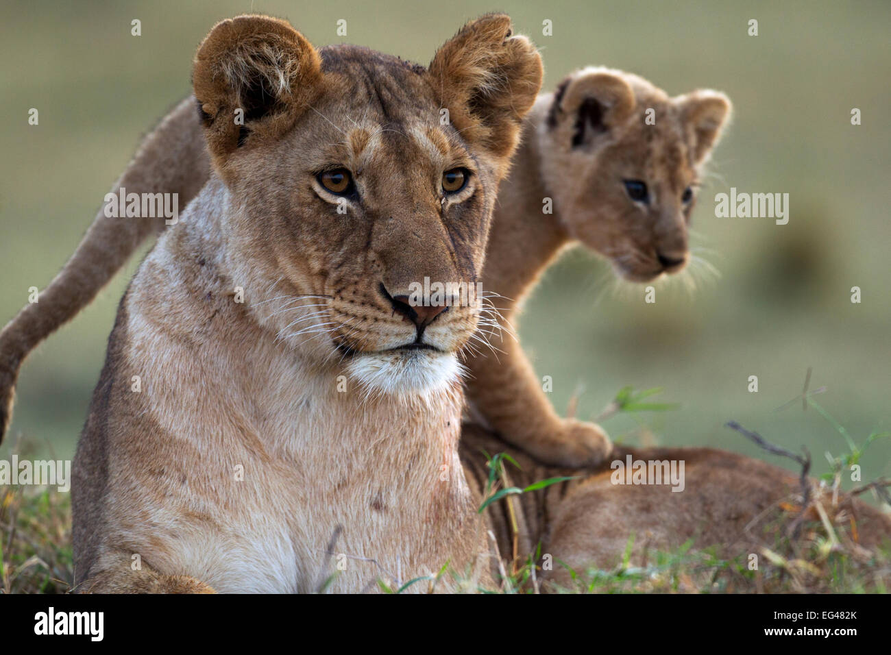 Löwin (Panthera Leo) Jungtier im Alter von 2-3 Monaten Porträt. Masai Mara National Reserve Kenia August Stockbild