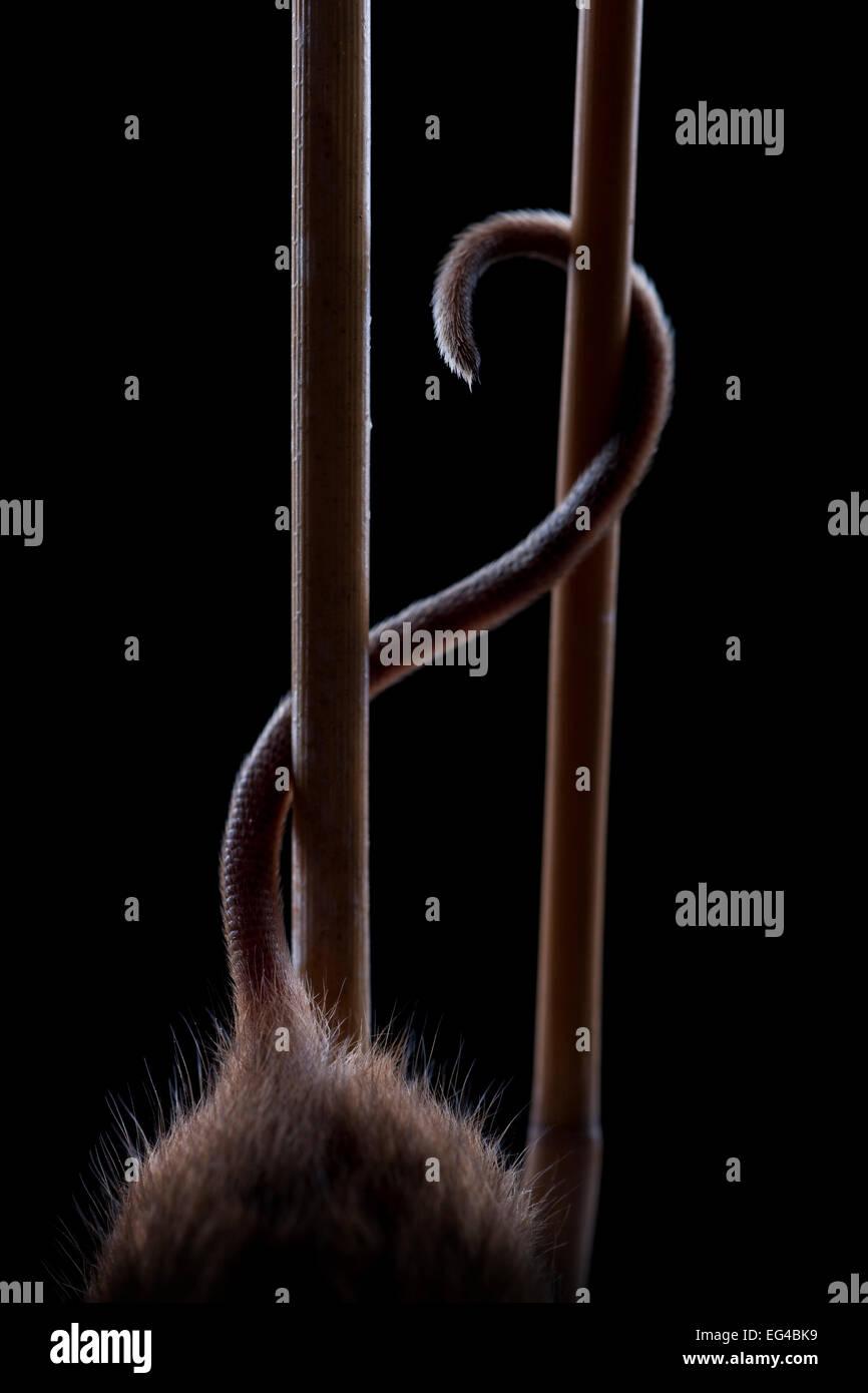 Maus (Micromys Minutus) mit Heck, während das Klettern im Reed Deutschland gefangen zu ernten. Stockbild