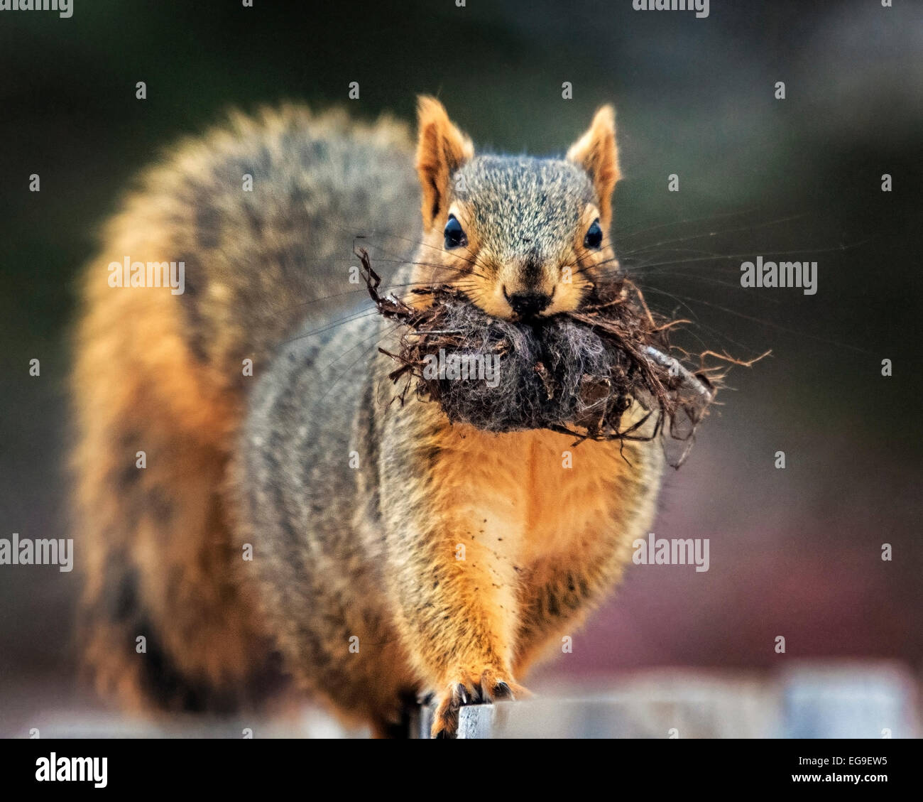 Nahaufnahme des Eichhörnchens mit Wurzeln im Mund Stockbild