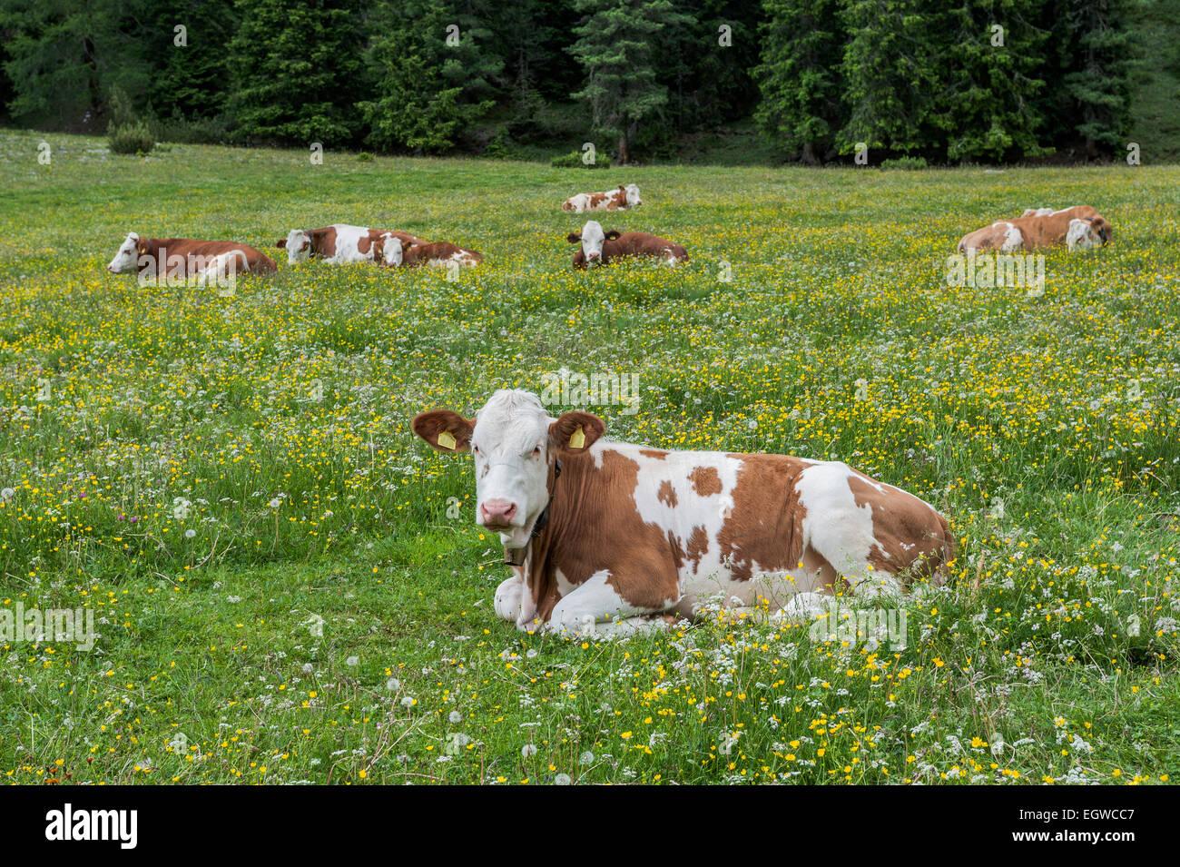 Hausrind liegen in der Wiese, Vallelunga, Naturpark Puez, Sëlva, Val Gardena, Dolomiten, Selva di Val Gardena Stockbild