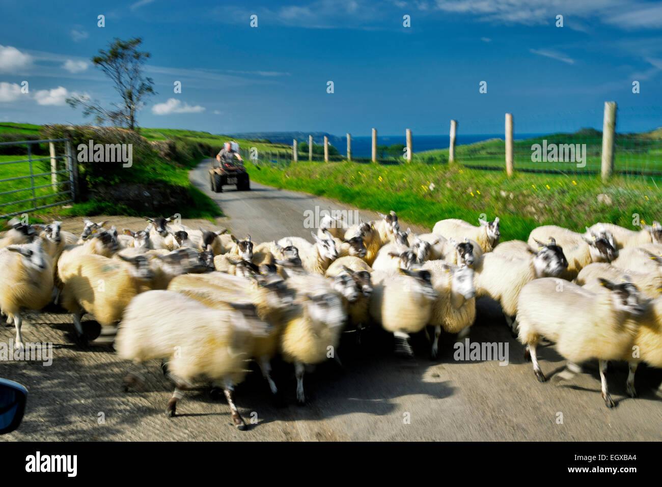 Schafe, die Straße hinunter verschoben wird. Torr Head. Nordirland. Stockbild