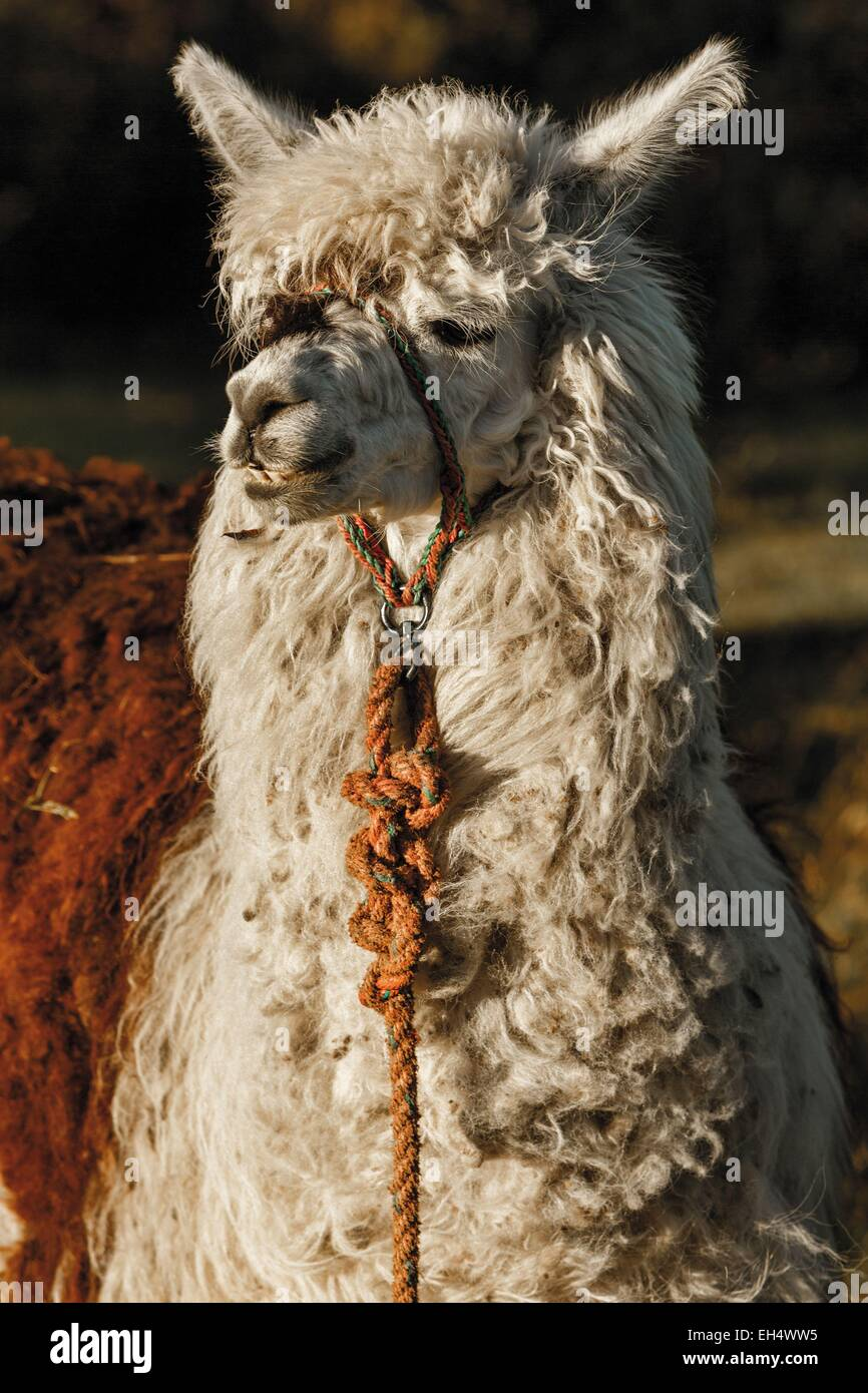 Ecuador, Cotopaxi, Cotopaxi Nationalpark, Porträt von einem inländischen Lama Stockbild
