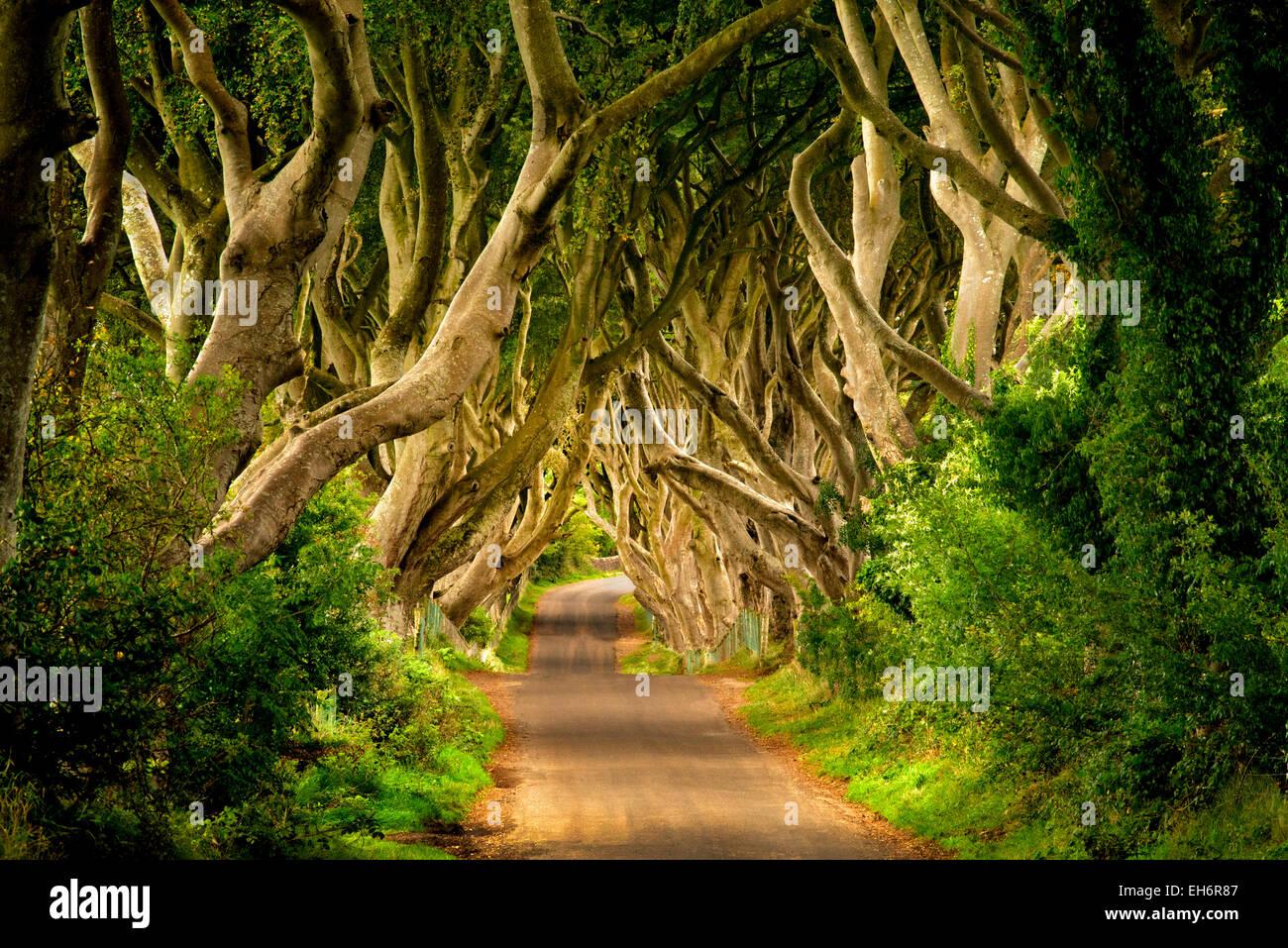 Die dunklen Hecken. Ländliche Buche von Bäumen gesäumten Straße in Irland. Stockbild