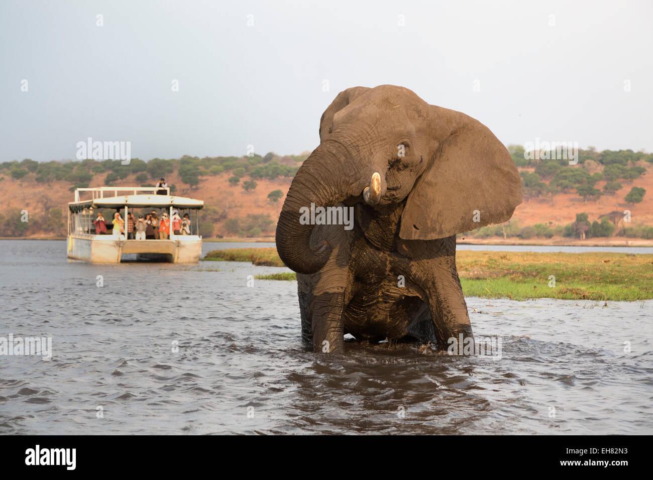 Afrikanischer Elefant (Loxodonta Africana) und Touristen, Chobe Nationalpark, Botswana, Afrika Stockbild