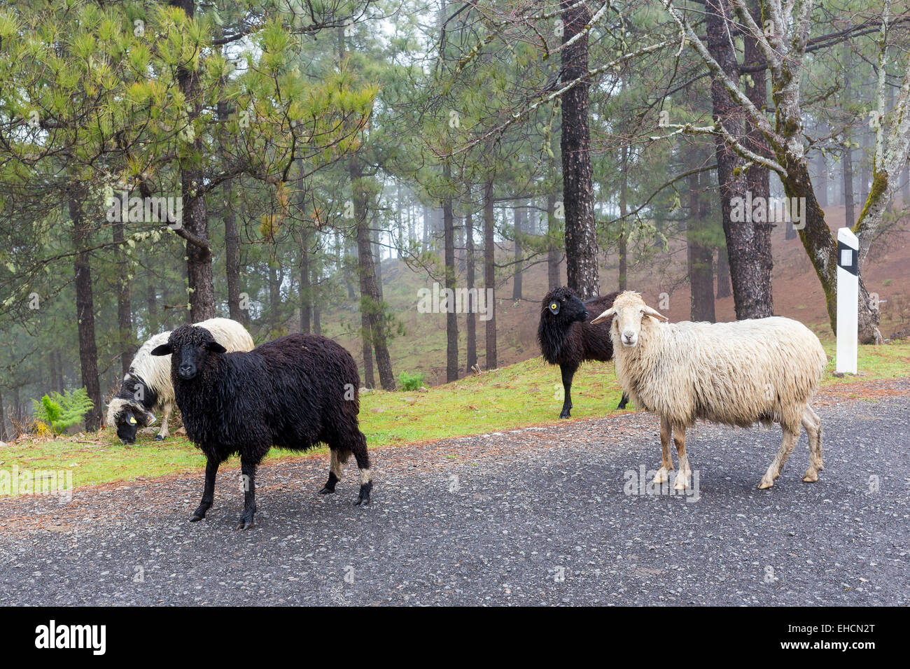 Schafe am Straßenrand, Gran Canaria, Kanarische Inseln, Spanien Stockfoto