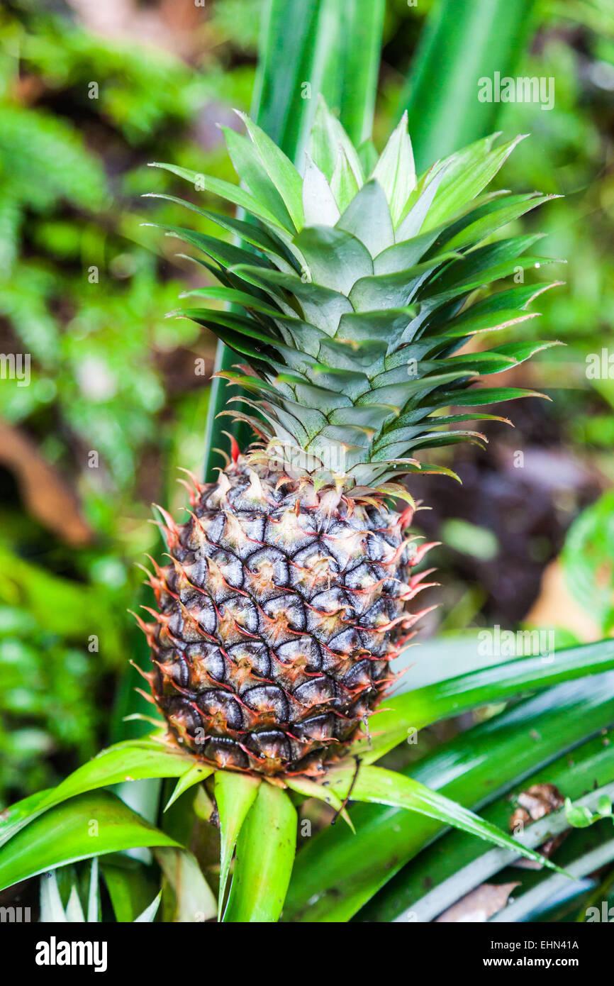 pineapple stockfotos pineapple bilder alamy. Black Bedroom Furniture Sets. Home Design Ideas