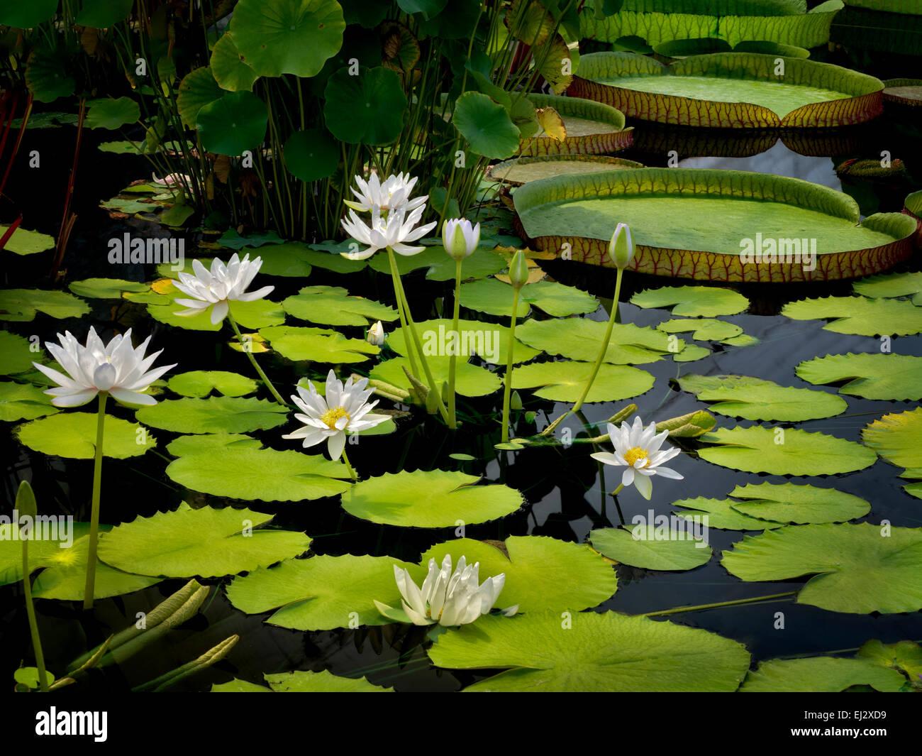 Seerose im Teich. Oregon Stockbild