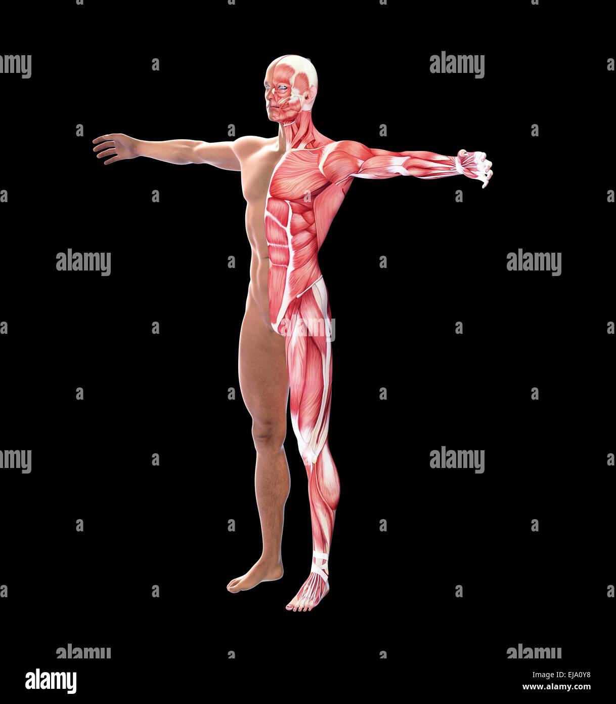 Menschliche Anatomie mit sichtbaren Muskeln Stockfoto, Bild ...