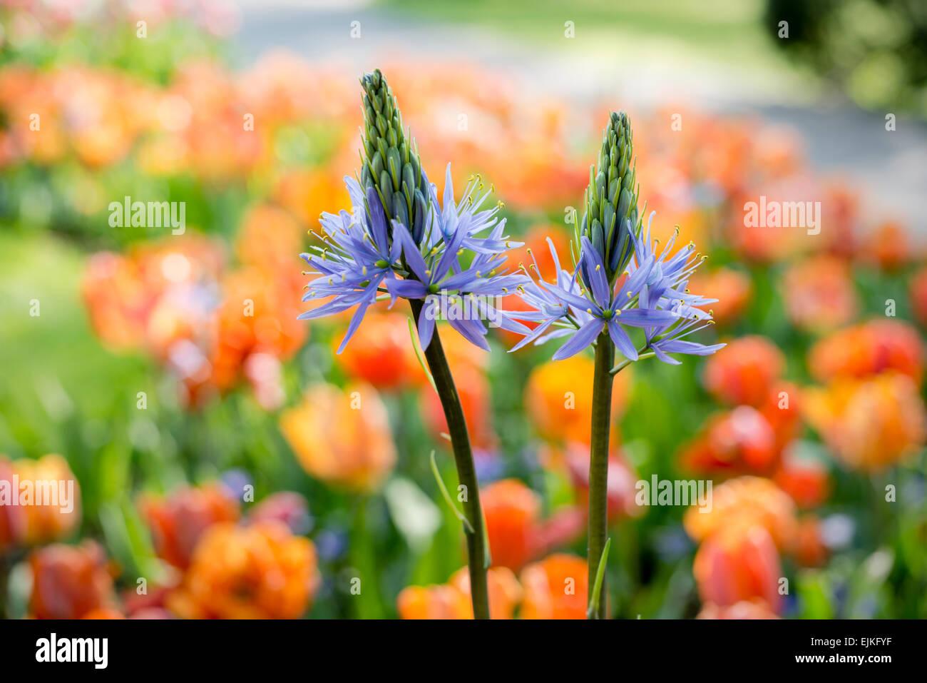 gro en camas camassia leichtlinii blaue camassia fr hlingsblumen stockfoto bild 80334899. Black Bedroom Furniture Sets. Home Design Ideas