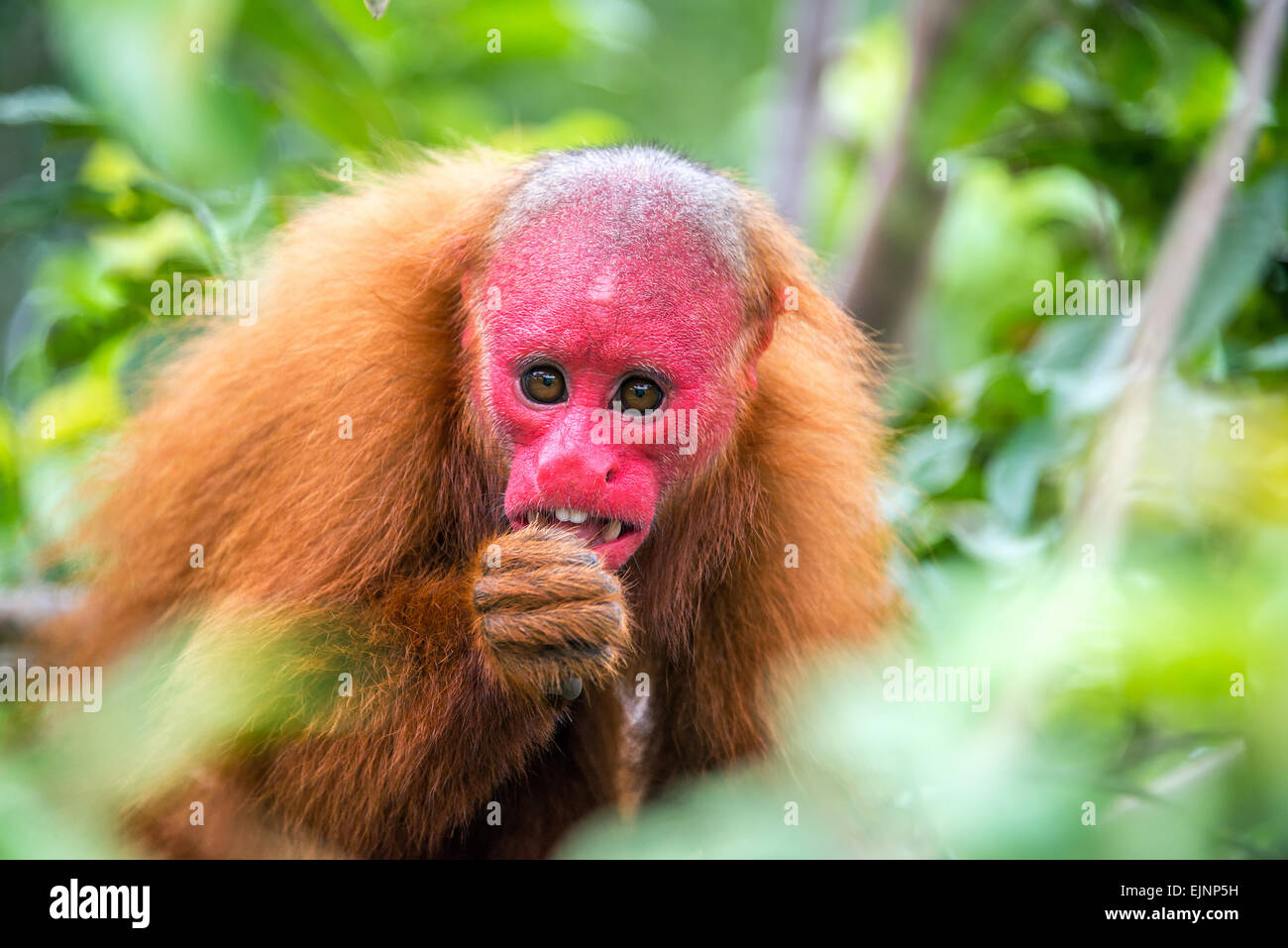 rainforest animal amazon monkey stockfotos rainforest animal amazon monkey bilder alamy. Black Bedroom Furniture Sets. Home Design Ideas
