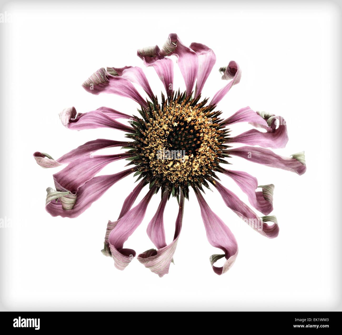 "Welk ""Echinacea Purpurea"" Echinacea, Serie DB-3 von 3 Stockbild"