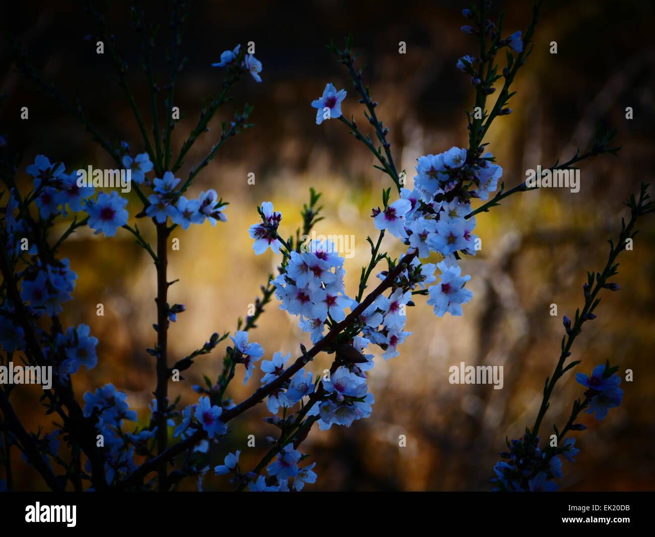 Spanien-Kanarische Inseln Teneriffa Vilaflor Cherry blossom Stockfoto