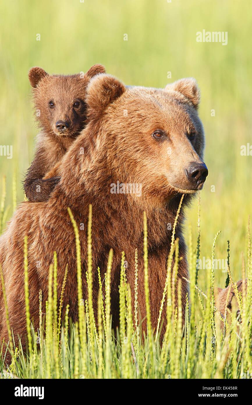 Braun / Grizzly Bear Lake-Clark-Nationalpark, Alaska Stockbild