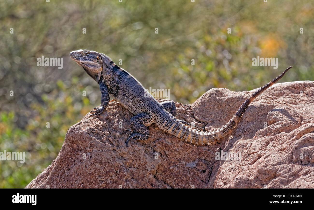 Ctenosaura ist eine Eidechse Gattung Spinytail Leguane oder Ctenosaurs genannt. Süd-Arizona Stockbild