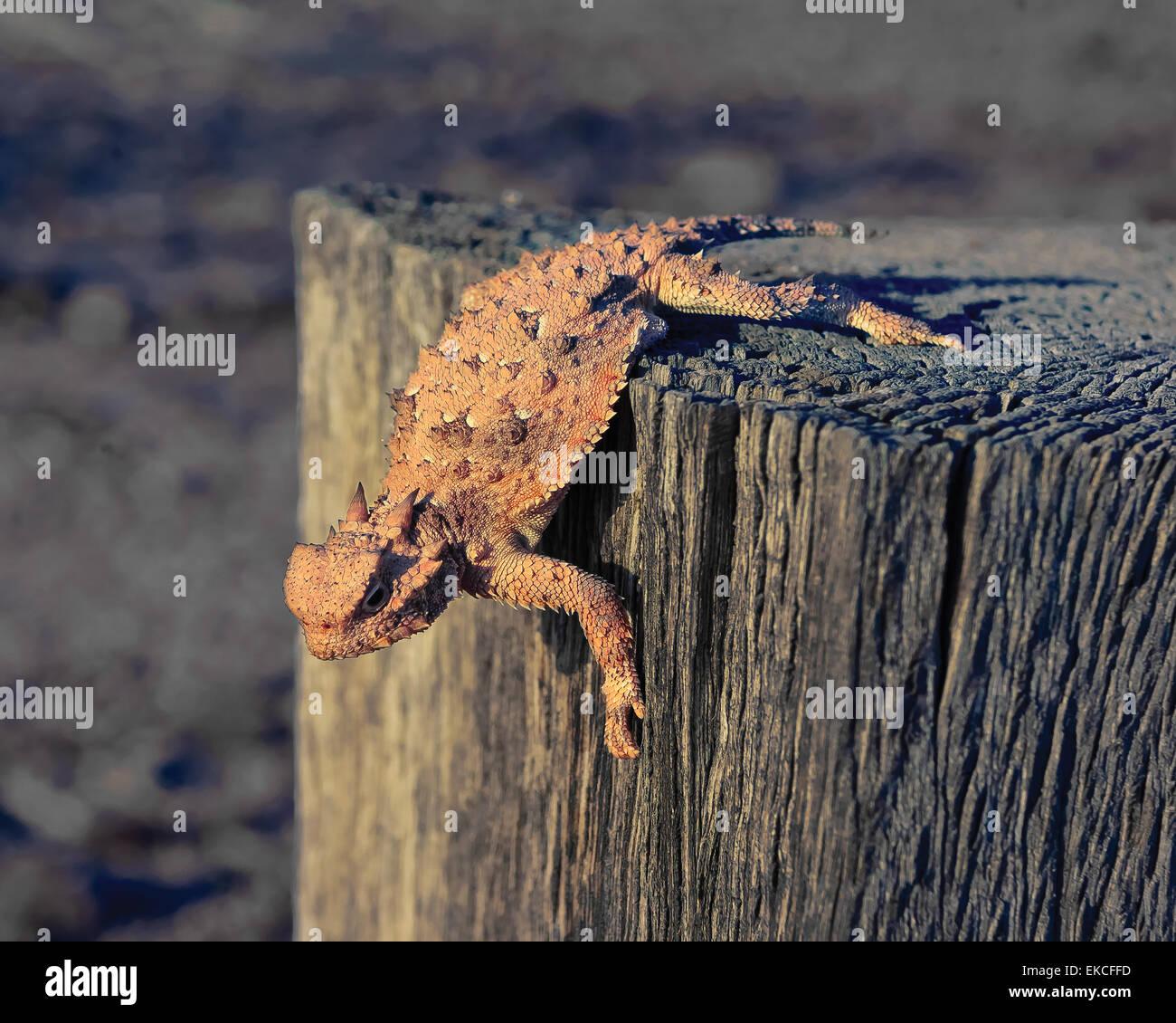 Krötenechsen kriecht auf einem hölzernen Pfosten, Arizona, USA Stockbild